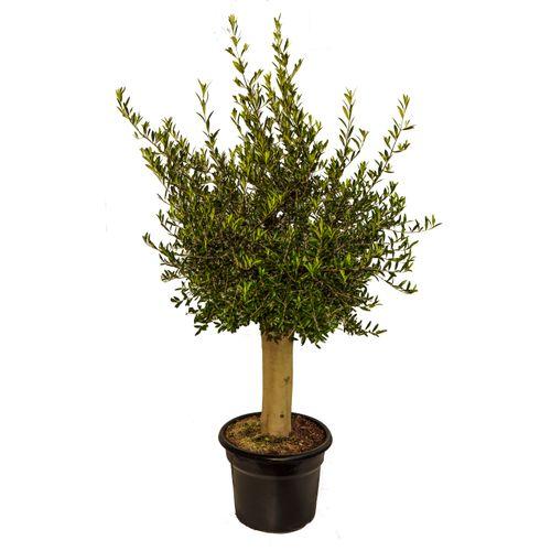 Olijfboom (Olea) stamomtrek ca. 30-40cm 45L 175cm
