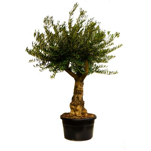 Olijfboom (Olea) stamomtrek ca. 50-70cm 110L 200cm