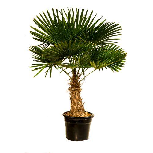 Palmboom (Trachycarpus) stamh 40-50cm
