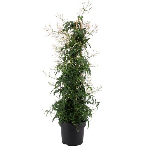 Jasmijn (Jasminum Polyanthum) potmaat 17cm h 70cm