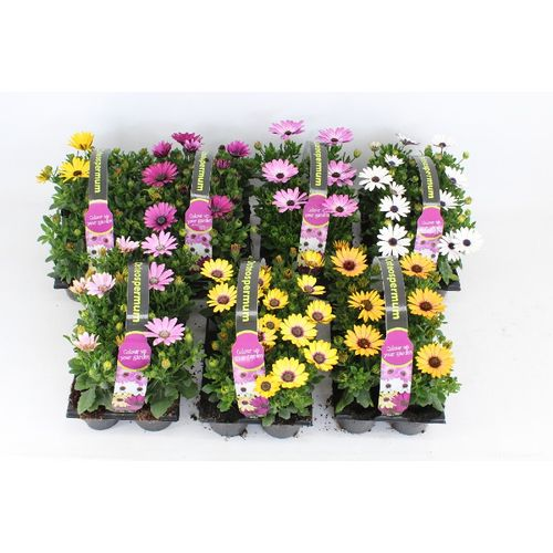 Spaanse margriet (Osteospermum) 6-pack (kies in winkel) potmaat 1cm h 18cm