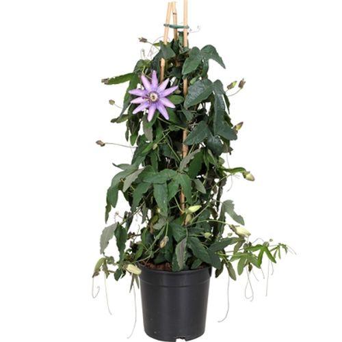 Passiebloem (Passiflora) potmaat 17cm h 70cm