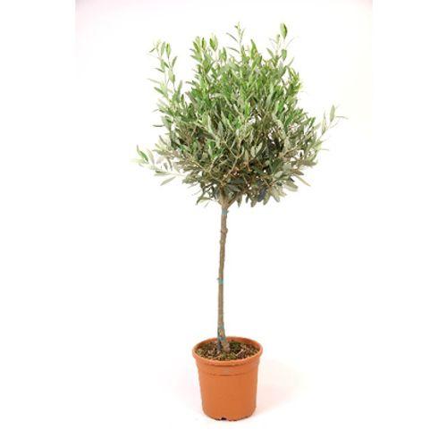 Olijfboom Olea Europaea 145cm