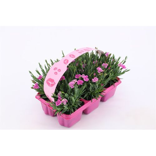 Dianthus Pink Kisses 6pack potmaat 1cm h20cm