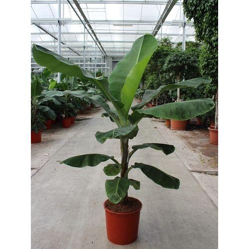 Bananenplant (Musa Dwarf Cavendish) potmaat 34cm h 160cm