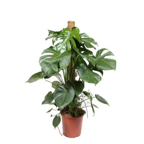 Gatenplant (Monstera Deliciosa) potmaat 27cm h 120cm