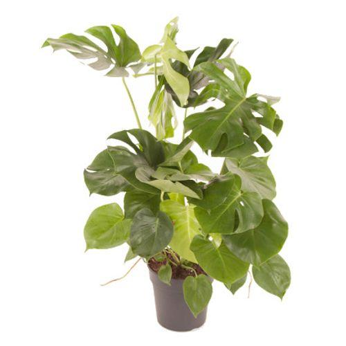 Gatenplant (Monstera Deliciosa Toef) potmaat 24cm h80cm