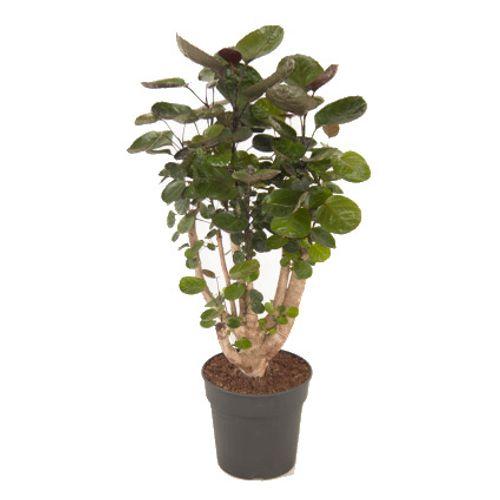 Jungle plant (Polyscias Fabian) potmaat 21cm h 70cm