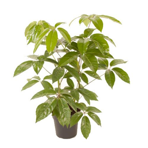 Vingerplant (Schefflera Actinophylla Amate) potmaat 24cm h90cm