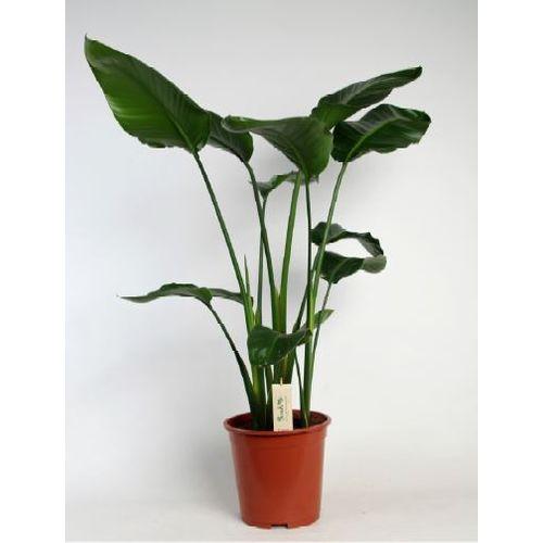 Paradijsvogelplant (Strelitzia Nicolai) potmaat 27 h 140cm