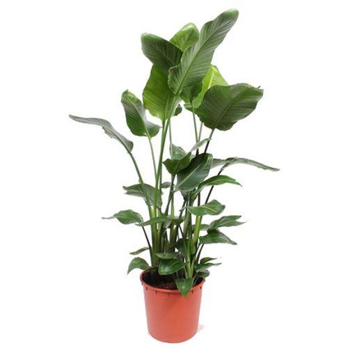 Paradijsvogelplant (Strelitzia Nicolai) potmaat 34 h 140cm