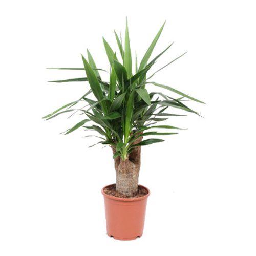 Palmlelie (Yucca Elephantipes) potmaat 21cm h 100cm