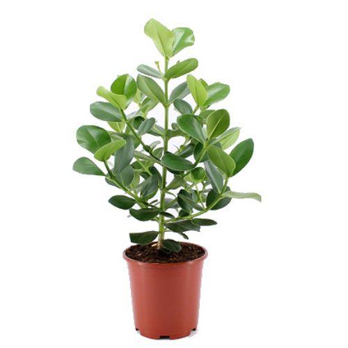 Varkensboom (Clusia Rosea Princess) potmaat 24cm h 80cm