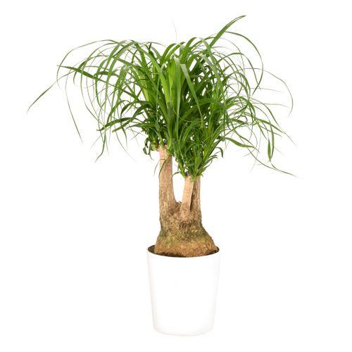 Olifantspoot (Beaucarnea Vertakt) 70cm met plantenpot wit