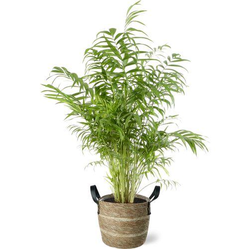 Dwergpalm (Chamaedorea Elegans) 100cm met plantenpot lichte natuur tint