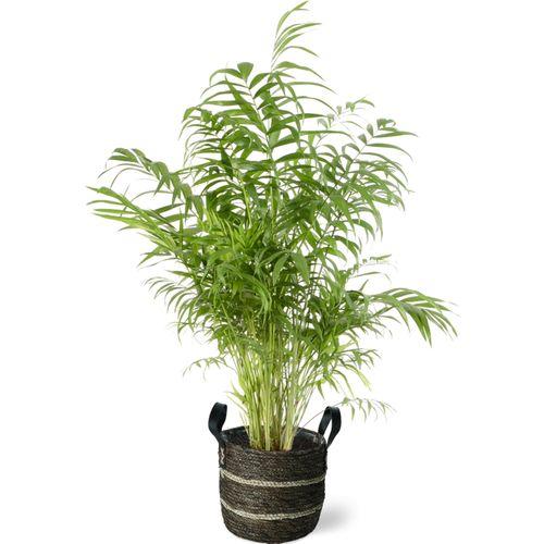 Dwergpalm (Chamaedorea Elegans) 100cm met plantenpot bruine natuur tint
