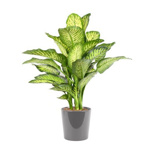 Dief van Bagdad (Dieffenbachia Maroba) 85cm met plantenpot grijs