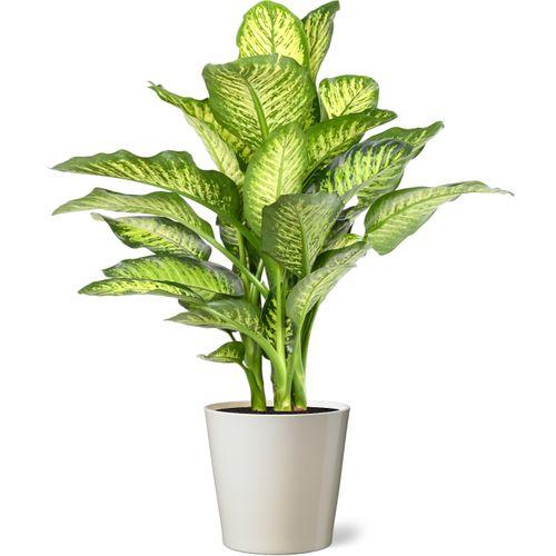 Dief van Bagdad (Dieffenbachia Maroba) 85cm met plantenpot vanille
