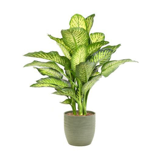 Dief van Bagdad (Dieffenbachia Maroba) 85cm met plantenpot strepen groen