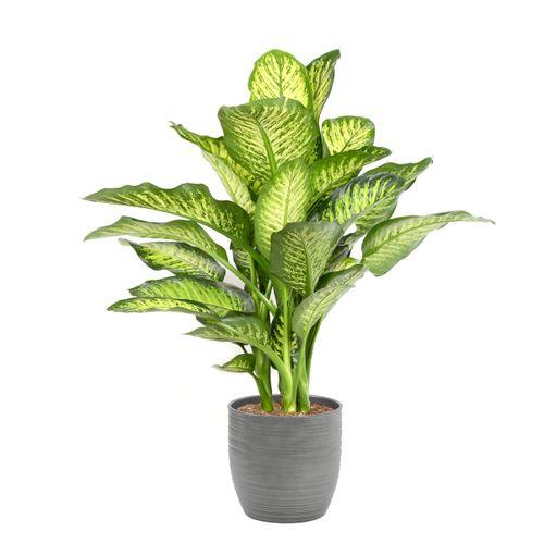 Dief van Bagdad (Dieffenbachia Maroba) 85cm met plantenpot strepen grijs