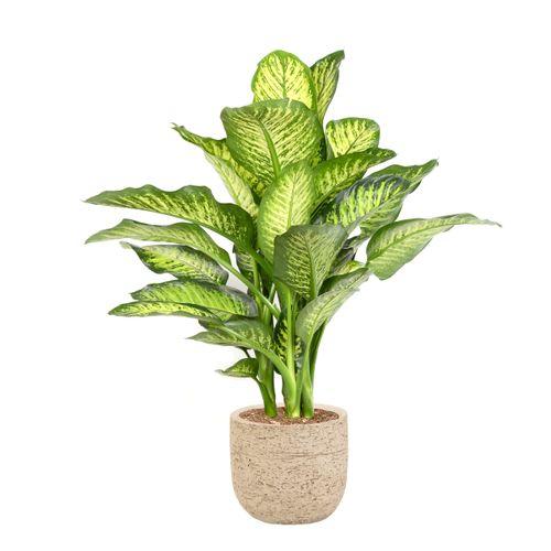 Dief van Bagdad (Dieffenbachia Maroba) 85cm met plantenpot nature look