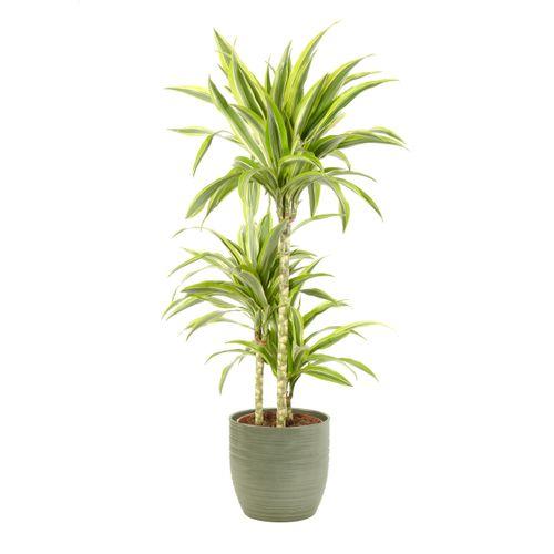 Drakenbloedboom (Dracaena Lemon Lime) 100cm met plantenpot strepen groen