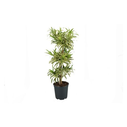 Drakenbloedboom (Dracaena ref Song of India) 115cm zonder pot