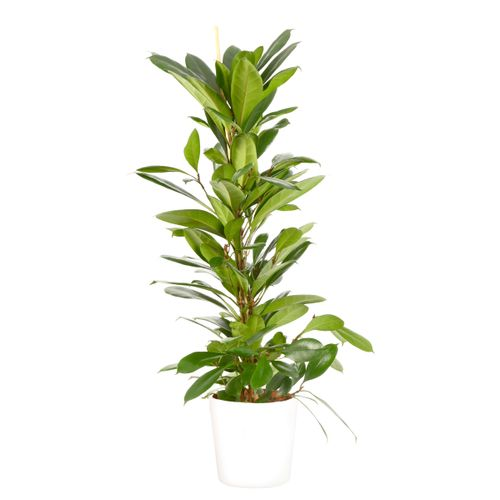 Groene Vijg (Ficus Cyathistipula) 100cm met plantenpot wit