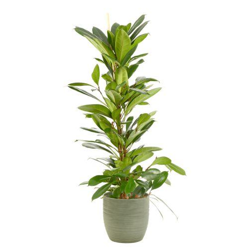 Groene Vijg (Ficus Cyathistipula) 100cm met plantenpot strepen groen