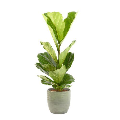 Vioolbladplant (Ficus Lyrata) 100cm met plantenpot strepen groen