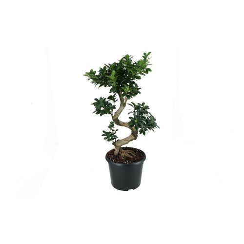 Bonsai (Ficus Micro. s-type) 80cm zonder pot