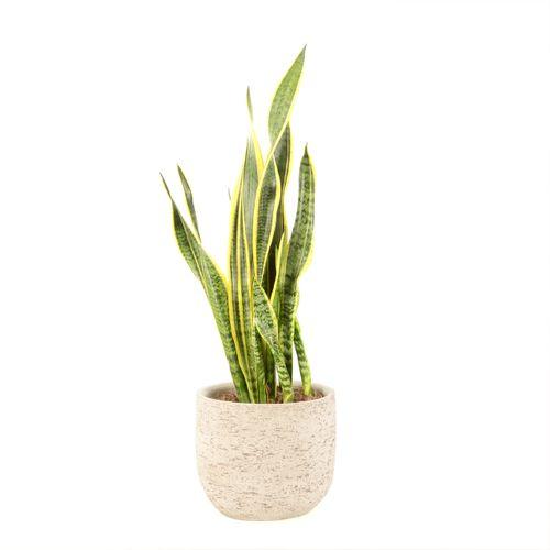 Vrouwentong (Sansevieria Laurentii) 70cm met plantenpot naturel