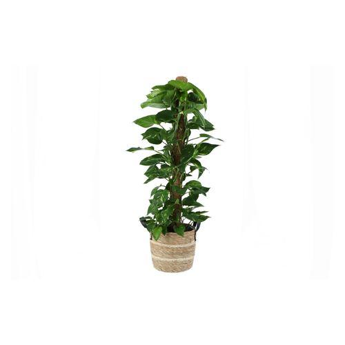 Drakenklimop (Scindapsus Aureus) 120cm met plantenpot lichte natuur tint