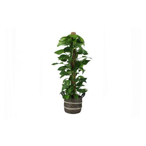 Drakenklimop (Scindapsus Aureus) 120cm met plantenpot bruine natuur tint