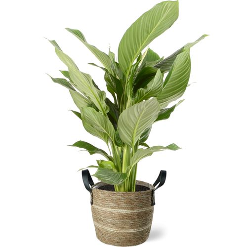 Lepelplant (Spathiphyllum) 105cm met plantenpot lichte natuur tint