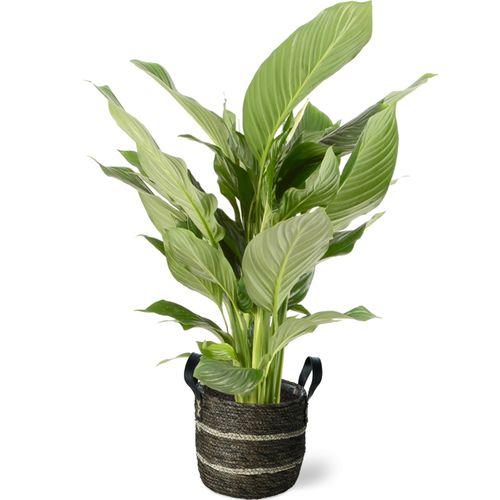 Lepelplant (Spathiphyllum) 105cm met plantenpot bruine natuur tint