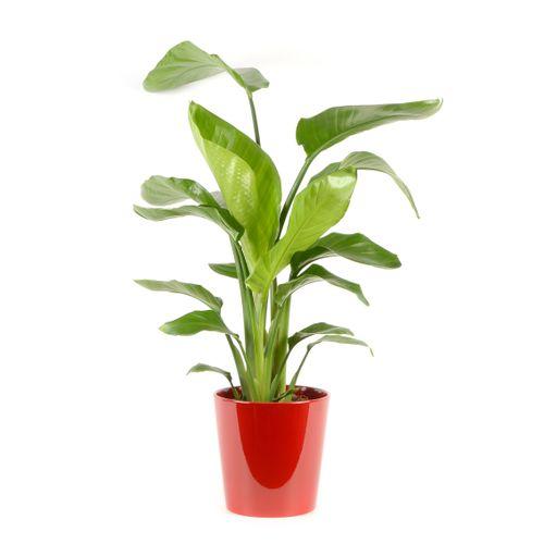 Paradijsvogelplant (Strelitzia Nicolai) 75cm met plantenpot rood