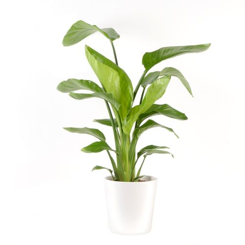 Paradijsvogelplant (Strelitzia Nicolai) 75cm met plantenpot wit