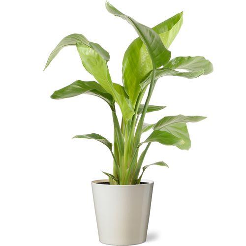Paradijsvogelplant (Strelitzia Nicolai) 75cm met plantenpot vanille