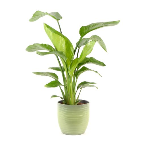 Paradijsvogelplant (Strelitzia Nicolai) 75cm met plantenpot strepen groen