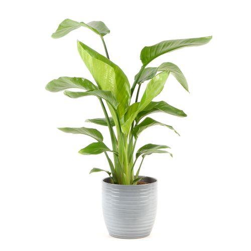 Paradijsvogelplant (Strelitzia Nicolai) 75cm met plantenpot strepen grijs