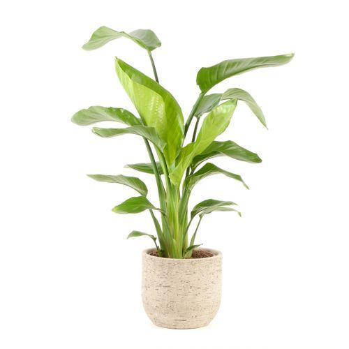 Paradijsvogelplant (Strelitzia Nicolai) 75cm met plantenpot naturel
