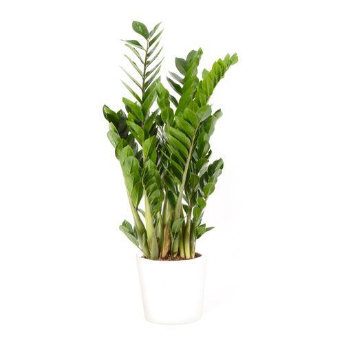 Jungle plant (Zamioculcas Zamiifolia) 90cm met plantenpot wit