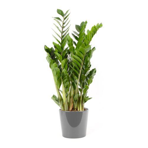 Jungle plant (Zamioculcas Zamiifolia) 90cm met plantenpot grijs