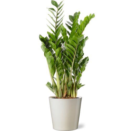 Jungle plant (Zamioculcas Zamiifolia) 90cm met plantenpot vanille