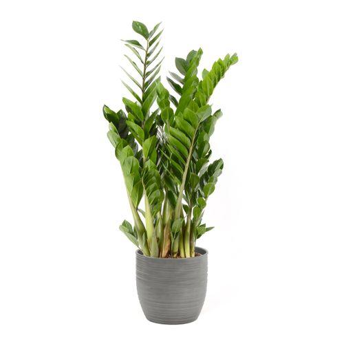 Jungle plant (Zamioculcas Zamiifolia) 90cm met plantenpot strepen grijs