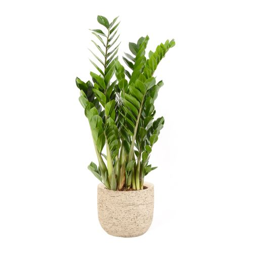 Jungle plant (Zamioculcas Zamiifolia) 90cm met plantenpot naturel