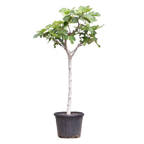 Vijgenboom (Ficuc Caria) stamomtrek ca. 11-14cm