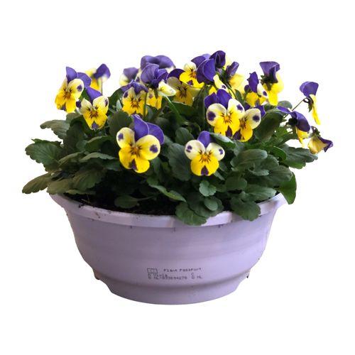 Buitenplant Viola Cornuta schaal lila
