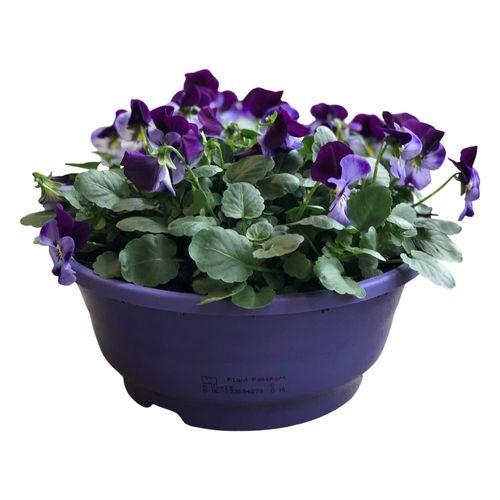 Buitenplant Viola Cornuta schaal paars